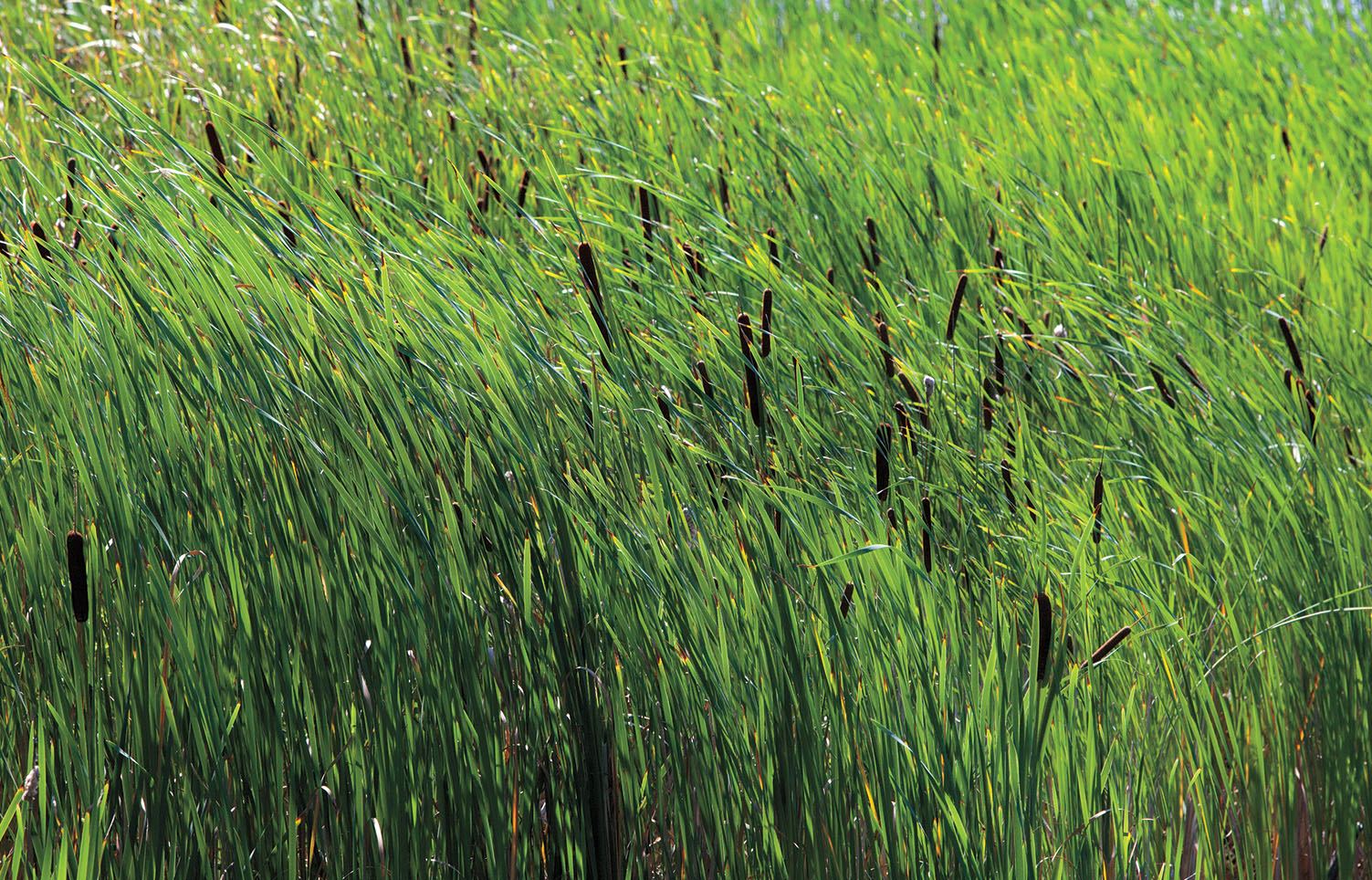 A photo of green reeds in the Alumnae Valley pond.