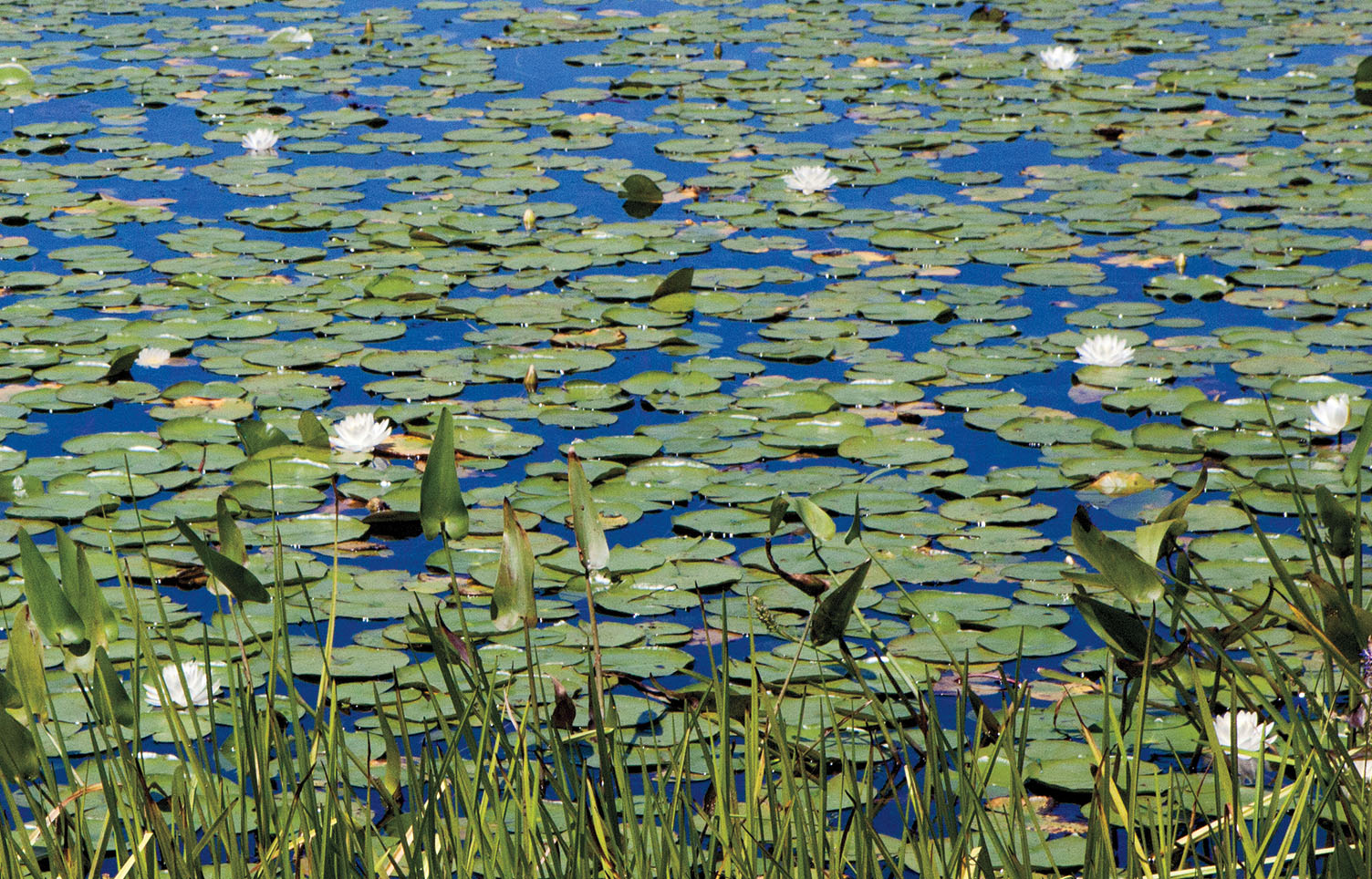 A photo of water lilies in Paramecium Pond.