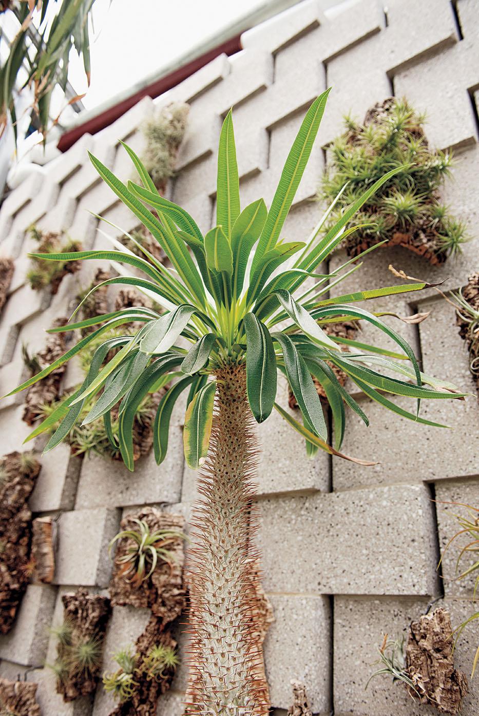 A photo shows a  Vontakabe, a spiny plant native to Madagascar.