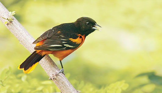 A photo of a Baltimore oriole