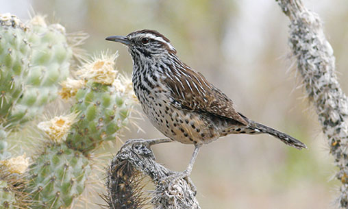 A photo of a cactus wren