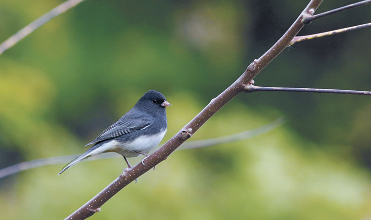 A photo of a dark-eyed junco