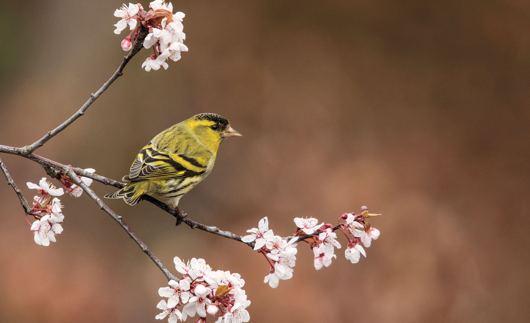 A photo of a siskin sitting on a branch of flowering cherry
