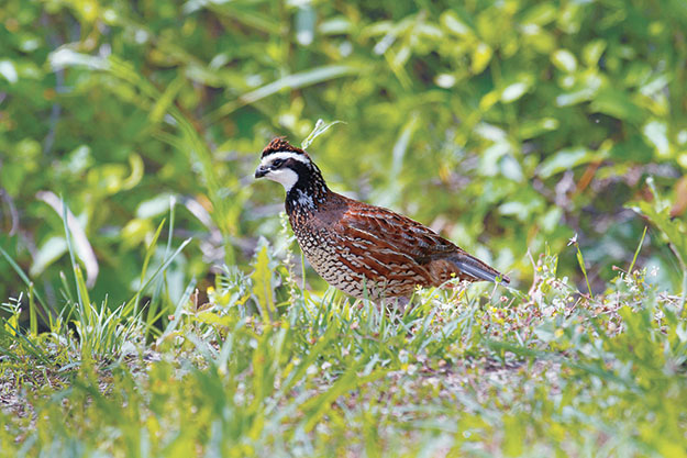 A photo of a northern bobwhite