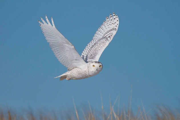 A photo of a snowy owl in flight