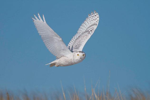 A photo of a snowy owl in flight