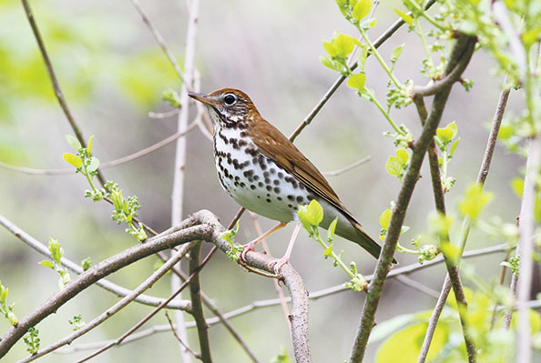 A photo of a wood thrush
