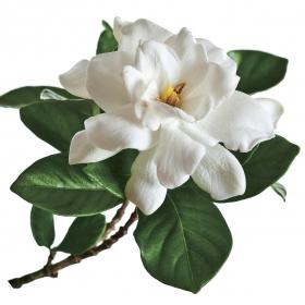 A gardenia blossom
