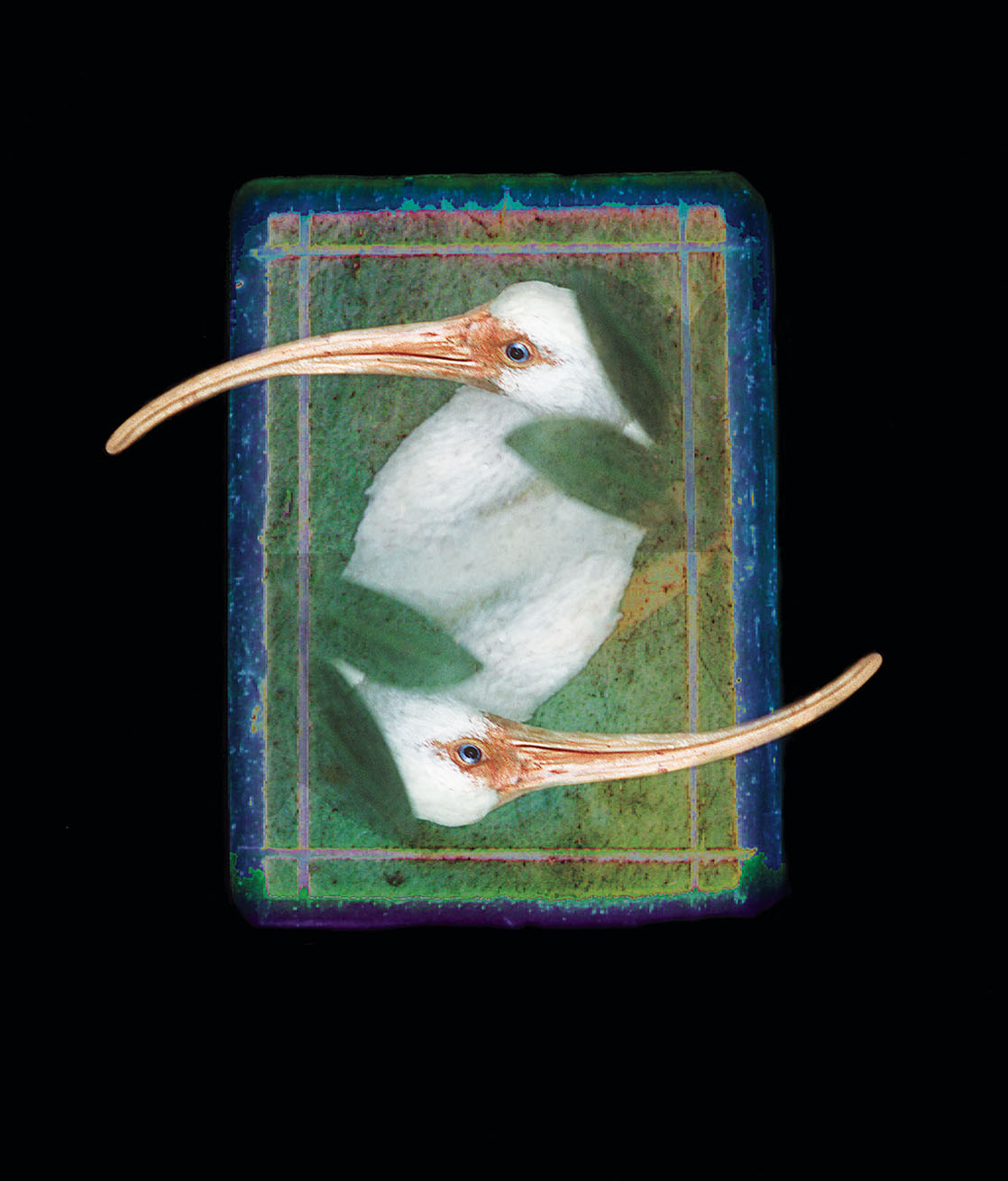 Missing Piece–Ibis, a photograph featuring two Ibis birds overlaid on each other, on a rectangular backdrop of green, blue, and purple