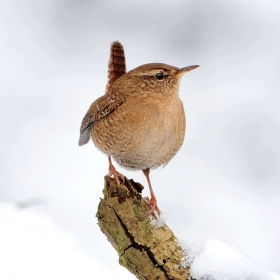A winter wren perches on a snowy branch.