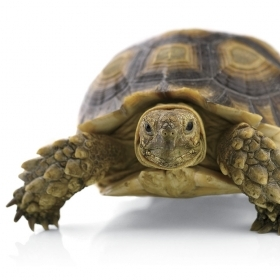 Photograph of a tortoise.